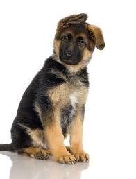 ¿Cómo es el cachorro de...? Pastor alemán. http://blog.theyellowpet.es/cachorro-pastor-aleman/