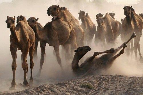 camel run