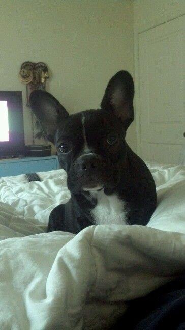 My precious frenchy Hugo :)