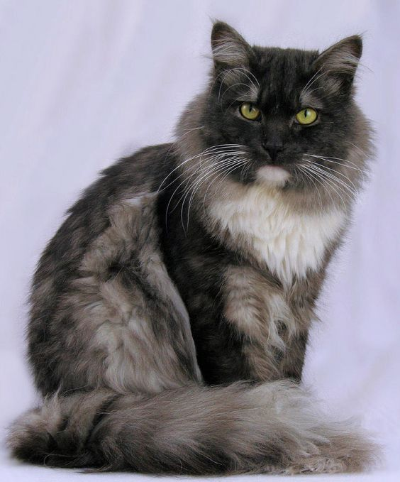 Cats, Maine coon and Image search on Pinterest