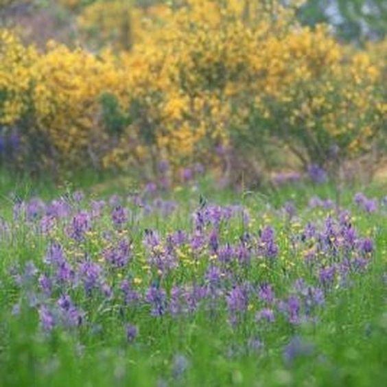 Scotch broom shrubs produce pretty white or yellow flowers.