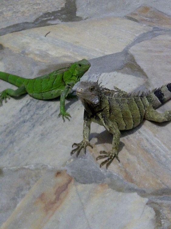 Iguanas at Holiday Inn Resort Aruba