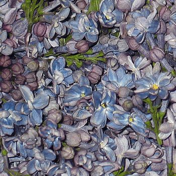 For Flower Girls to throw. FiftyFlowers.com - Lavender Periwinkle Lilac Petals