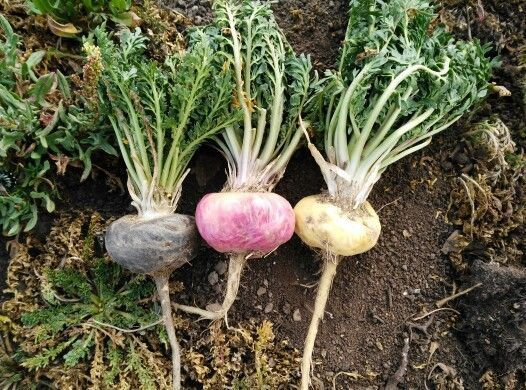 Maca Root Known as Peruvian Ginseng (With images)   Maca plant ...