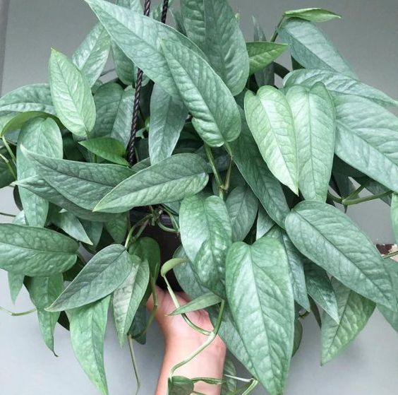 cebu blue pothos, 10 types of pothos