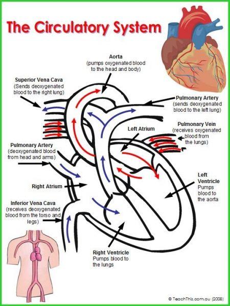 circulatory system the human body pinterest. Black Bedroom Furniture Sets. Home Design Ideas