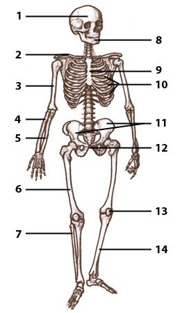 Free Anatomy Quiz - The bones of the human skeleton | A&P ...