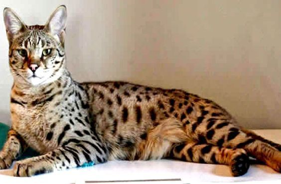 Most Recent No Cost Bengal Cats Kitten Tips First When It Concerns Just What Exactly Serves As A Bengal Cat Ben In 2020 Bengal Cat Bengal Cat Kitten Cats And Kittens