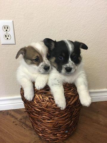 Cowboy Corgi Puppy For Sale In Georgetown Tx Adn 69018 On Puppyfinder Com Gender Female Age 7 Weeks O Cowboy Corgi Corgi Puppies For Sale Puppies For Sale