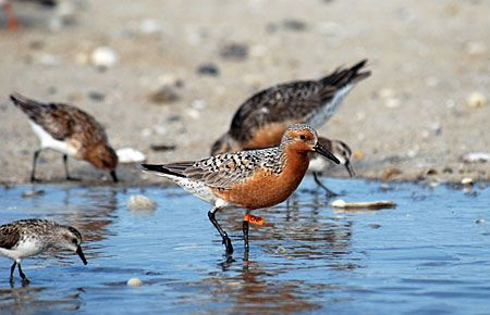Photo of a Red Knot. ri. A small population nests on the tundra in northern and northwestern Alaska. A larger population migrates through Alaska en route to their breeding grounds in Siberia.
