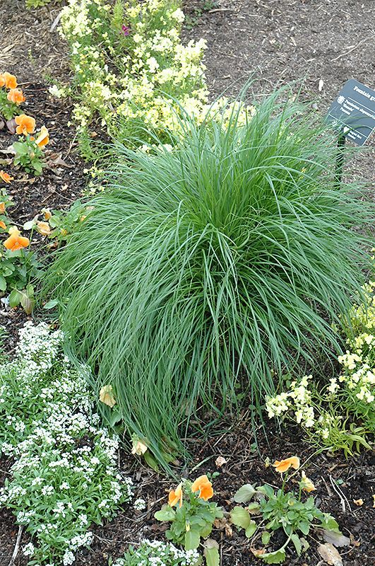 Click to view full size photo of hameln dwarf fountain for Fountain grass garden