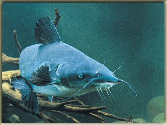 Blue Catfish Freshwater Fish And Catfish On Pinterest