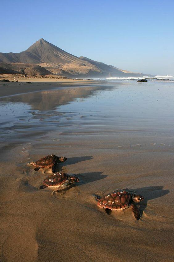 Tortugas en la costa de Cofete, en busca de la libertad, en una imagen de Tony Gallardo!!