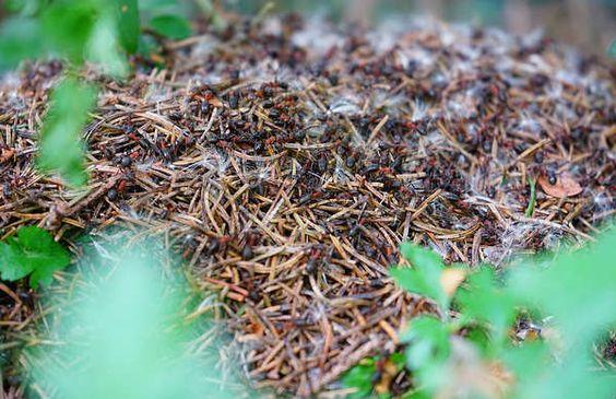 d truire un nid de fourmis trucs et astuces pour liminer rapidement les nids de fourmis. Black Bedroom Furniture Sets. Home Design Ideas