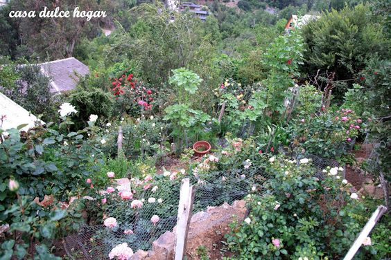 casa dulce hogar: mis rosales del cerro... my roses on the hill