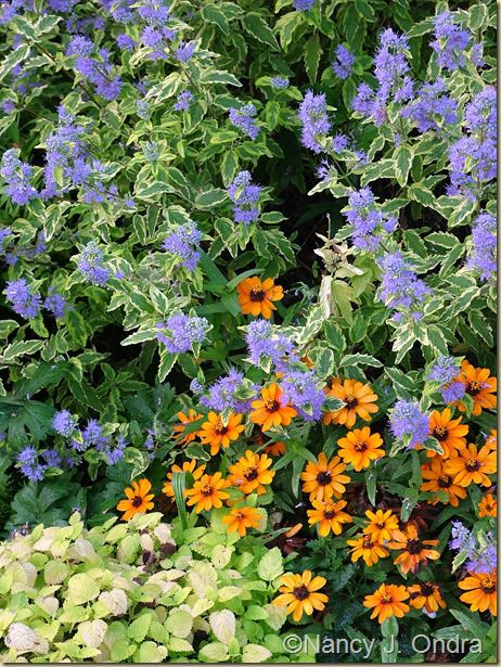 Caryopteris 'Summer Sorbet' with Zinnia 'Profusion Orange' and Melissa officinalis 'All Gold'; Nancy J. Ondra at Hayefield