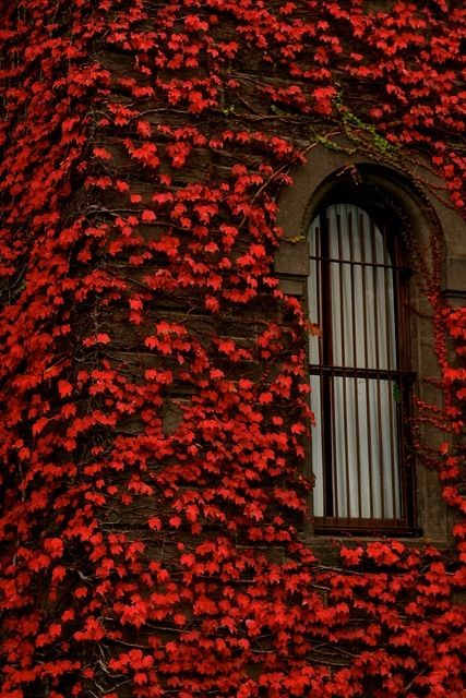 Magnificent red climbing vines in autumn on home with arched window