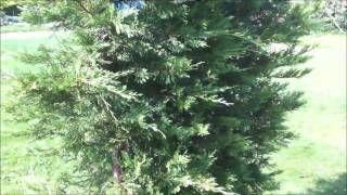 Différentes plantes haies en gros plan - Cyprès - Thuja - Laurier - Plantes de haie - YouTube