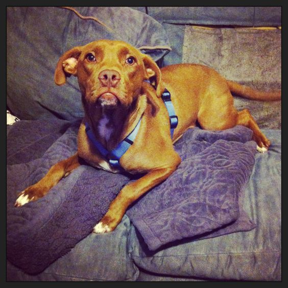 Why Breed Matters in Service Dogs and Why Pit Bull Service Dogs are a Bad Idea