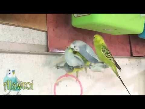 تزاوج طيور الحب Youtube Vegetables Celery Birds