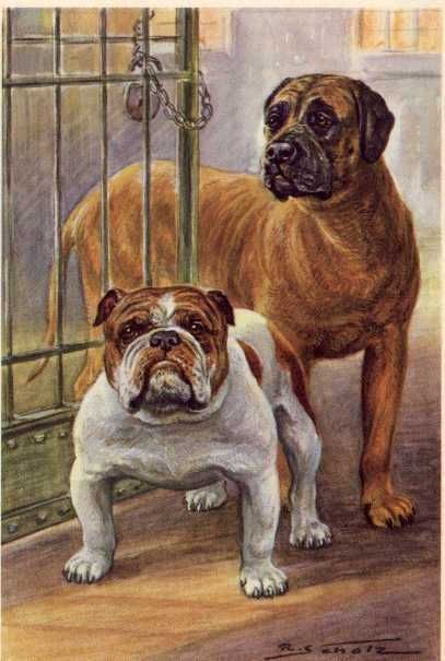 English Bulldog and Mastiff - MATTED Dog Print - German / NEW U