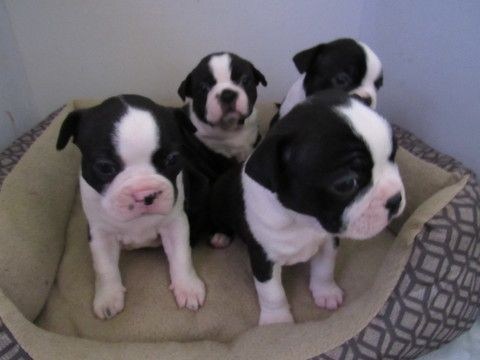 Litter Of 4 Boston Terrier Puppies For Sale In Imperial Beach Ca