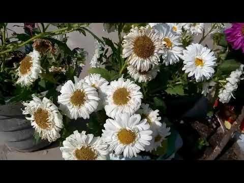 642 एसटर म अध क Flowers क ल ए अच क तर क Wonderful Tech For Maximum Flowering In Aster Hindi Youtube In 2020 Plant Hacks Plants Organic Gardening