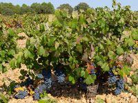 viñedos uvas  Campos cultivos de Castilla La Mancha
