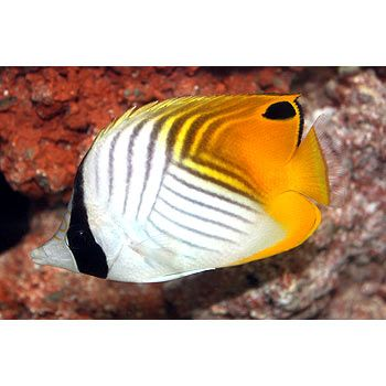 Pinterest the world s catalog of ideas for Petco saltwater fish