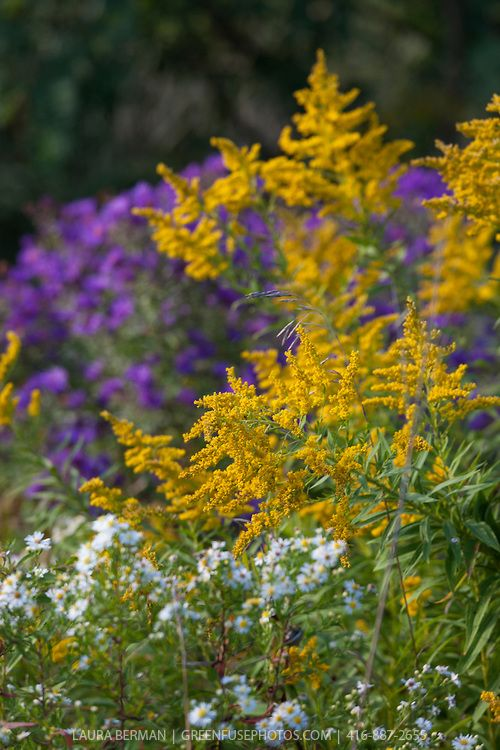 Canada Goldenrod Solidago Canadensis Greenfuse Photos Garden Farm Food Photography Canadensis Wild Flowers Goldenrod