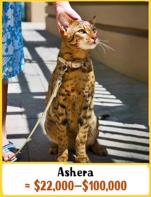 Https I2 Wp Com Welovecatsandkittens Com Wp Content Uploads 2020 08 Cost 19 Jpg W 510 Ssl 1 In 2020 Ashera Cat Gorgeous Cats Cats