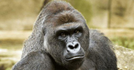 girls-woman-sucks-a-gorillas-dick-metart