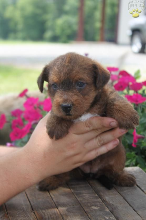 Bailey Poodle Mix Puppy For Sale In Port Royal Pa