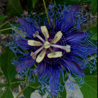 Passion Flower Passion Flower Flowers Beautiful Flowers
