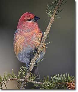 Feb 17 - 20 is the Great Backyard Birdwatch! www.birdsource.org/gbbc/whycount.html