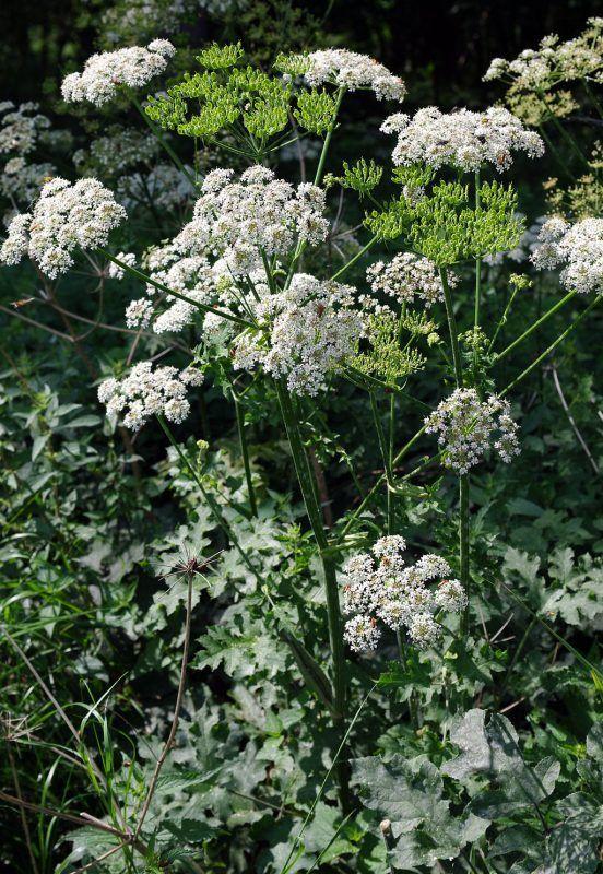 Wiesen Barenklau Gemeiner Barenklau Kostbare Natur Barenklau Gemeiner Kostbare Natu Edible Wild Plants Plants Healing Herbs