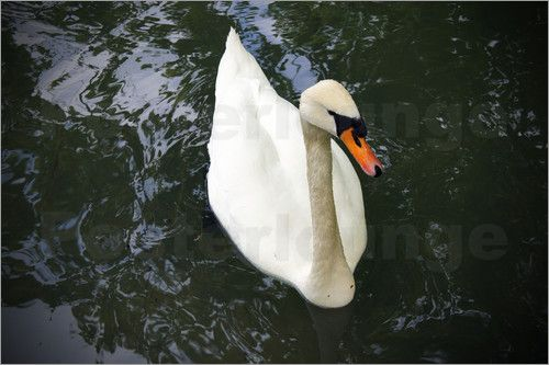 Emotion-Art - white Swan