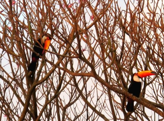 Toucans in the wild in Brazil  - We've seen wild Toucans in Guatemala and Belize, and believe us, they are an amazing sight.  We love this picture and hope one day we can see them in Brazil too!
