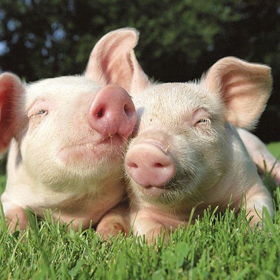 Cute Facts About Pigs That Will Make You Want One