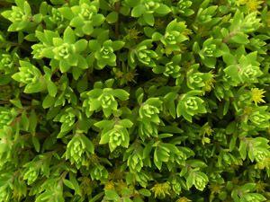 sedum sarmentosum plantas autctonas para jardines sostenibles en vivers carex