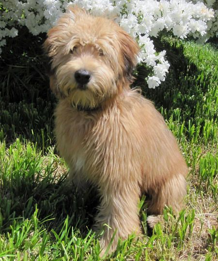 Soft Coated Wheaten Terrier! In love with this breed and what I have learned about it.