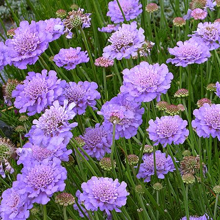 Scabiosa anthemifolia  Just THE BEST dry garden habitat plant, this tough but beautiful perennial Scabiosa thrills the butterflies and bees with a looong season (Spring thru Fall!) of fluffy, lavender blooms perfect for cutting! Deer resistant!  Also called pincushion flower.: