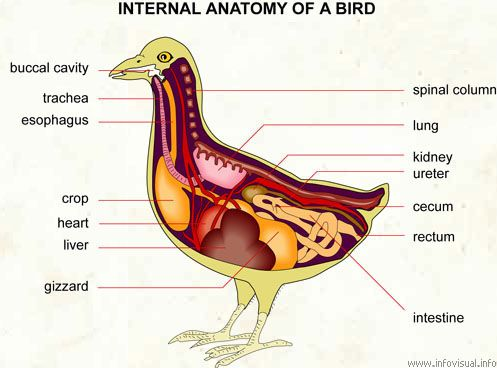 duck anatomy - Google Search | Fun with Anatomy and other ...