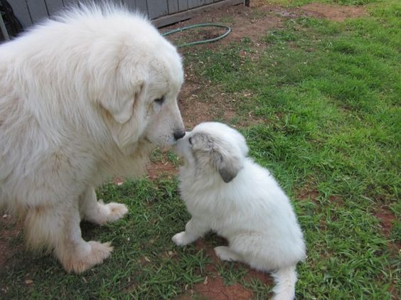 Pyrenees dog and pup