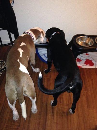 """Os cães Ares e Zeus comendo juntos. (Foto: Reprodução / Facebook / Ares and Zeus """"The Boys"""")"""