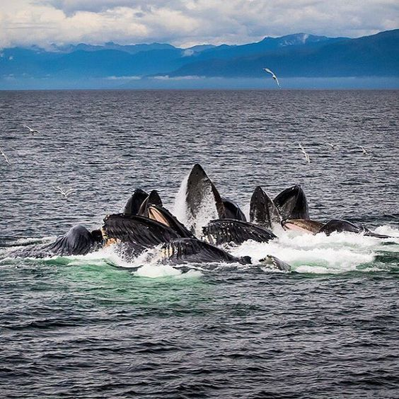 Humpback whales cooperatively feeding in Chatham Strait in southeast Alaska photo by @susanseubert #onassignment for #natgeoexpeditions by natgeotravel