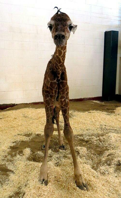 Baby Giraffe ( this is so $&@#ing cute I almost pinned it twice ) …