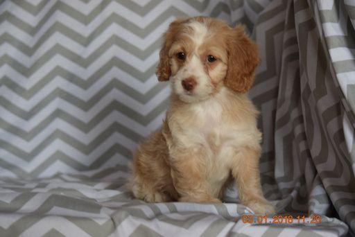 Cocker Spaniel Poodle Miniature Mix Puppy For Sale In Fredericksburg Oh Adn 59410 On Puppyfinder C Cocker Spaniel Poodle Puppies For Sale Miniature Puppies