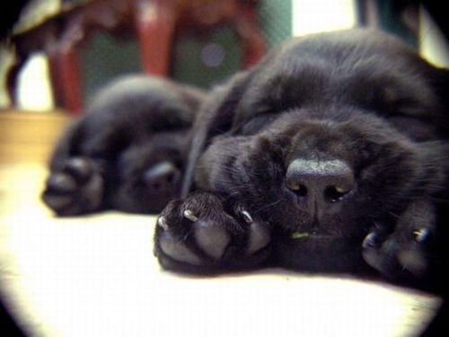 black lab puppy sleep