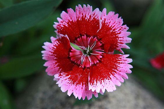 Dianthus Alpinus (Cultivar) by IvanTortuga, via Flickr